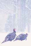 Wild Turkey (Meleagris gallopavo) two gobblers in snow storm  Ohio  USA