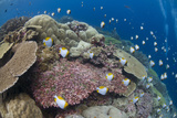 Pyramid Butterflyfish (Hemitaurichthys polylepis) shoal  Christmas Island