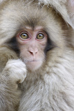 Japanese Macaque (Macaca fuscata) baby  close-up of head  Jigokudani  Honshu