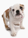 Domestic Dog  Bulldog  puppy  standing