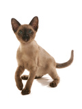 Domestic Cat  Tonkinese  brown mink  female kitten