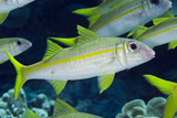 Yellowfin Goatfish (Mulloidichthys vanicolensis) adults  shoal swimming  Barat Daya Islands