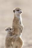 Meerkat (Suricata suricatta) adult  alert sentinel  with baby  Kalahari