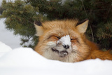 American Red Fox (Vulpes vulpes fulva) adult  with snow on nose  resting in snow  Montana