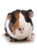 Domestic Guinea Pig (Cavia porcellus) adult