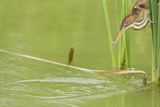 Least Bittern (Ixobrychus exilis) adult female