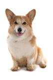 Domestic Dog  Pembroke Welsh Corgi  adult  sitting