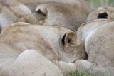 Massai Lion (Panthera leo nubica) adult females  pride sleeping  Masai Mara  Kenya