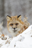 American Red Fox (Vulpes vulpes fulva) adult female  looking over snow covered hillock