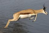 Springbok (Antidorcas marsupialis) adult  leaping beside waterhole  Etosha   Kunene
