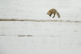 American Red Fox (Vulpes vulpes fulva) adult  hunting  jumping on prey in snow  Yellowstone