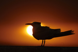 Royal Tern (Sterna maxima) silhouetted at sunset  with fishing line around legs  Florida