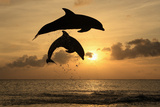 Common Bottlenose Dolphin (Tursiops truncatus) two adults  leaping  silhouetted at sunset  Roatan