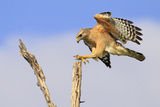 Red-shouldered Hawk (Buteo lineatus) adult  in flight  landing on dead tree  Florida
