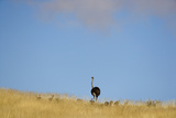 Ostrich (Struthio camelus) adult female with chicks  standing in grass  Namib Desert  Namibia