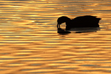 American Coot (Fulica americana) adult  feeding on water  silhouetted at sunset  Florida