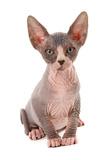 Domestic Cat  Sphynx  kitten  sitting