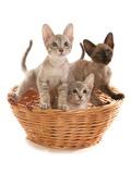 Domestic Cat  Tonkinese  blue tabby mink  three male kittens
