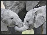 African Elephant Calves (Loxodonta Africana) Holding Trunks  Tanzania
