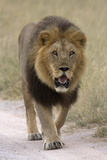 Male lion walks towards the camera