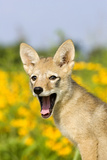 Coyote (Canis latrans) two-month old pup  yawning  close-up of head  USA