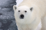 Polar Bear (Ursus maritimus) adult  close-up of head  standing on pack ice  Kong Karls Land