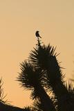 Loggerhead Shrike (Lanius ludovicianus) adult  Joshua Tree