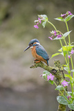 Common Kingfisher (Alcedo atthis) adult male  perched on twig amongst Red Campion flowers  England