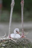 Caribbean Flamingo (Phoenicopterus ruber) three-day old chick