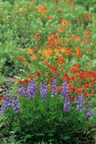 Indian Paintbrush (Castilleja miniata) and Broadleaf Lupin (Lupinus latifolius)  Washington State