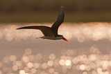 African Skimmer (Rynchops flavirostris) adult  in flight over wetland at dusk  Botswana