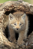 Canadian Lynx (Lynx canadensis) eight-weeks old cub  in hollow tree trunk  Montana  USA