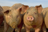 Domestic Pig  young  group in open field on commercial freerange unit  Norfolk