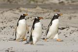 Gentoo Penguin (Pygoscelis papua) three adults  walking on sandy beach  Falkland Islands