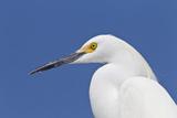 Snowy Egret (Egretta thula) adult  breeding plumage  close-up of head  Florida