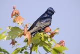 Purple Martin (Progne subis) adult male  perched on maple  USA