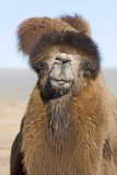Domesticated Bactrian Camel (Camelus bactrianus) breeding male  Khongoryn Els Sand Dunes
