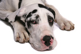 Domestic Dog  Great Dane  harlequin adult female  with collar