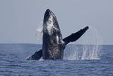 Humpback Whale (Megaptera novaeangliae) adult  breaching at surface of sea  Ogasawara Islands