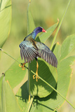 Purple Gallinule (Porphyrio martinicus) adult  foraging  Florida