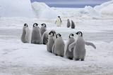 Emperor Penguin (Aptenodytes forsteri) group of chicks  colony  Antarctic Peninsula