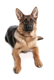 Domestic Dog  German Shepherd Dog  adult  laying
