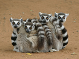Ring-tailed Lemur (Lemur catta) four adults  sitting on ground  huddled together  Berenty