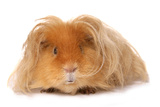 Domestic Guinea Pig (Cavia porcellus) adult  with long hair  standing