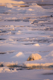 Polar Bear (Ursus maritimus) adult  sleeping on icefloe at sunset  Erik Eriksenstretet  Svalbard