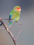 Rosy-faced Lovebird (Agapornis roseicollis) adult  perched on branch in desert  Erongo  Namibia