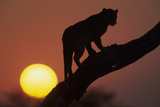 Leopard (Panthera pardus) On tree - in front of the rising sun - Namibia