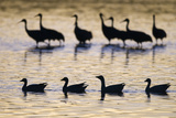 Snow Goose (Chen caerulescens) and Sandhill Crane (Grus canadensis)silhouetted  New Mexico