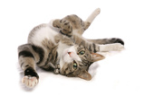 Domestic Cat  tabby and white  adult female  rolling on back