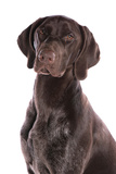 Domestic Dog  German Short-haired Pointer  adult male  close-up of head
